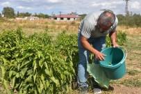 KERVANSARAY - Müşteri, Tarladan Sebzesini Toplayıp Kendi Alıyor