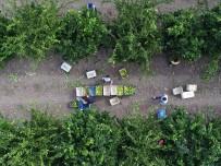 UKRAYNA - Adana'da Portakal Üretimi Arttı