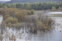 YABAN ÖRDEĞİ - Kuyucuk Gölü Kurudu, Yaban Hayvanları Baraj Gölüne Sığındı