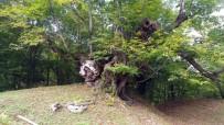 6 Asırlık Kestane Ağacı