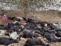 ALI ACAR - Adana'da yıldırım isabet eden 81 keçi telef oldu