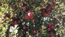 KıŞLAK - Göksun Elması, Avurpa Ve Ortadoğu Pazarında