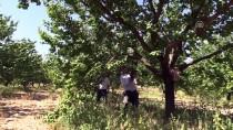 MEHMET ASLAN - Kuru Kayısının 'Başkenti'nde Ağaçlara Sonbahar Bakımı