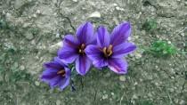 HAZİRAN AYI - 'Mucize Bitki' Üreticisinin Yüzünü Güldürdü