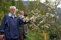 Ordu'da Armut Ağacı Meyvesi Üzerinde Çiçek Açtı