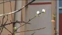 İLKBAHAR - Kastamonu'da Sıcağa Aldanan Meyve Ağaçları Çiçek Açtı