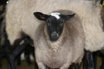 UKRAYNA - Üniversiteyi Bırakıp Çoban Oldu