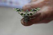 ZAKKUM - İstanbul'da Ender Rastlanan 'Mekik Kelebeği' Bulundu