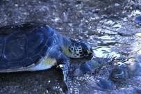 DENİZ KAPLUMBAĞALARI - Tedavisi Tamamlanan Deniz Kaplumbağaları Denize Salındı