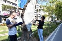 HASSASIYET - Anıt Ağaçlara Gençlik Aşısı