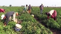 ALıŞVERIŞ - Çanakkale Domatesinde Lezzet Mevsimi