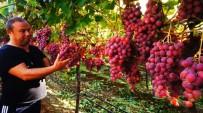 GEVREK - Sarıgöl'de Üzümler Göz Kamaştırıyor