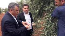 SU KAYBI - Kilis'te Yağışlar Zeytine Yaradı