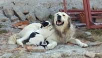 ÇAMLıCA - Köpeğe Masaj Yapan Kedi Şaşırttı