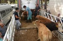 BÜLENT UYGUR - Altınözü'nde Genç Çiftçilere 85 Büyükbaş Hayvan Dağıtıldı