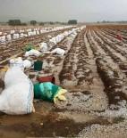 Patates Toplayan İşçiler Doludan Römork Altına Saklanarak Korundu