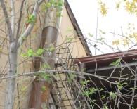 Çankırı'da Mevsimi Şaşıran Erik Ağacı Çiçek Açtı
