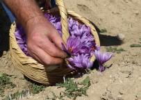 GIDA SEKTÖRÜ - Dünyanın En Pahalı Bitkisinde Hasat Erken Başladı
