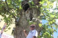 TARIHÇI - Sadece Anıt Ağaç Değil, İbret Vesikası
