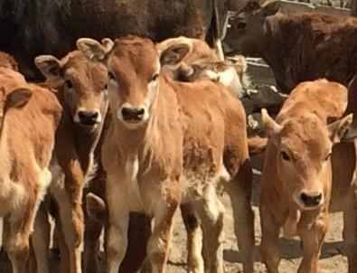 Yerli sığırlar koruma altına alınıyor