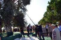 MEHMET TÜRKÖZ - Didim'de Zeytin Hasadı Anıt Ağaçlarda Yapıldı