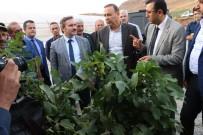 CEVİZ AĞACI - Siirt'te 2 Milyon Adet Süs Bitkisi Üretiliyor
