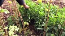 Güney Amerika Meyvesini Bingöl'de Yetiştirdi