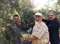 YANSıMA - Karaman'da Zeytin Hasadı Başladı