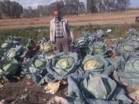 Yozgat'ın Organik Dev Lahanaları Görenleri Şaşırtıyor