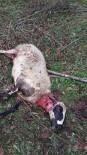 Aç Kalan Köpekler Koyunlara Saldırdı
