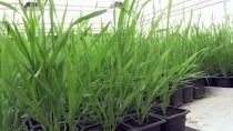 KIRAÇ - Yeni Geliştirilen Buğday, Kıraç Arazilere Umut Olacak