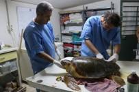 DENİZ KAPLUMBAĞALARI - Deniz Kaplumbağaları Araştırma Merkezi'nin Kapanacağı İddiası