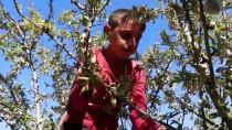 AKMEŞE - Modern Bahçeler, Çiftçilerin Gelirlerini 10 Kat Artırdı