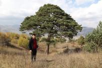 KÖY MUHTARI - Dev Çam Ağacı Hem Boyutu Hem De Hikayesi İle Dikkat Çekiyor