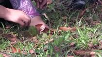GÜNEŞLI - Köylülerin Kestaneye Giden 'Dikenli' Yolculuğu