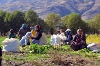 200 Hanelik Köyde Şalgam Hasadı
