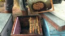 ENDEMIK - 'Türkiye'nin Çam Balı Üretim Miktarını Muğla Ayakta Tuttu'