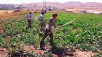 TARIM İŞÇİSİ - Afgan İşçiler Pancar Mesaisinde