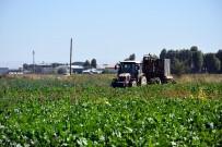 ANONIM - Muş'ta Şeker Pancarı Hasadı Devam Ediyor