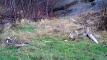 YABAN KEÇİSİ - Ordu'da Yaban Hayatı 'Fotokapan'la Görüntülendi