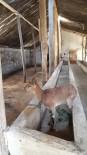 YABAN KEÇİSİ - Köpeklerden Kaçan Yaban Keçisi Ahıra Saklandı