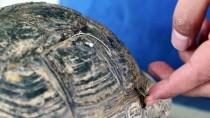 FıRAT ÜNIVERSITESI - Kaplumbağanın Parçalanan Kabuğu Onarıldı