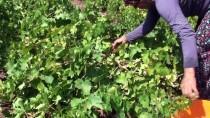 GÜNEYDOĞU ANADOLU PROJESI - Kuru Üzüm Fiyatları Çiftçinin Yüzünü Güldürdü
