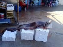 Mudanyalı Balıkçılar Dev Köpek Balığı Yakaladı