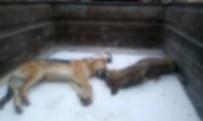 SOKAK KÖPEĞİ - Ankara'da 20 Sokak Köpeği Zehirlendi