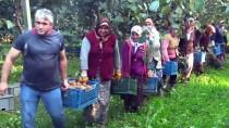 AKÇALı - Bahçeye Çevirilen Bataklıkta 450 Ton Kivi Üretildi
