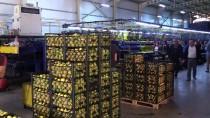 ELVERİŞSİZ HAVA - Limonda Üretim Arttı Fiyatlar Düştü