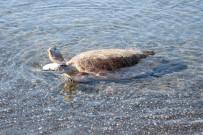 BEKIR PAKDEMIRLI - 591 Bin Yavru Deniz Kaplumbağası Denizle Buluştu