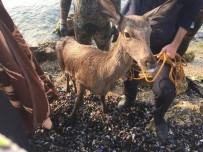 ARAŞTIRMA MERKEZİ - Denize Düşen Geyiği İtfaiye Kurtardı