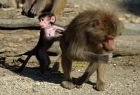 SEMPATIK - Yavru Babun Hayvanat Bahçesinin Maskotu Oldu